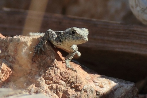 Symi lizard