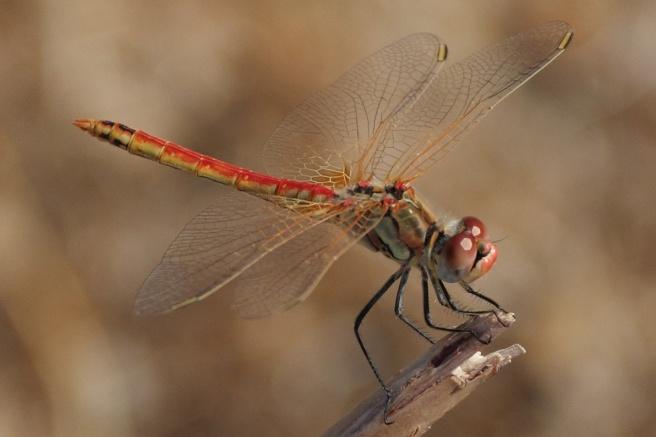 Symi Dragonfly