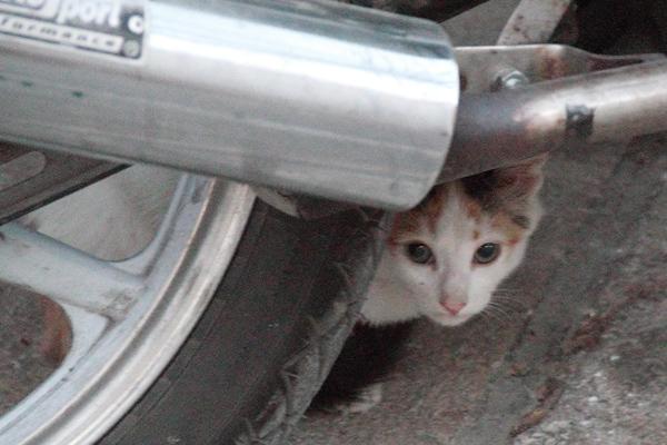 Symi Biker Kitten